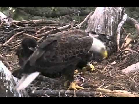 Eagle Killed by Airplane, Dad Returns After Death of Mom - Norfolk Botanical Garden Eagle Cam 2011