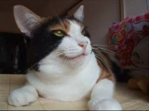 しゃべる 猫 の 動画