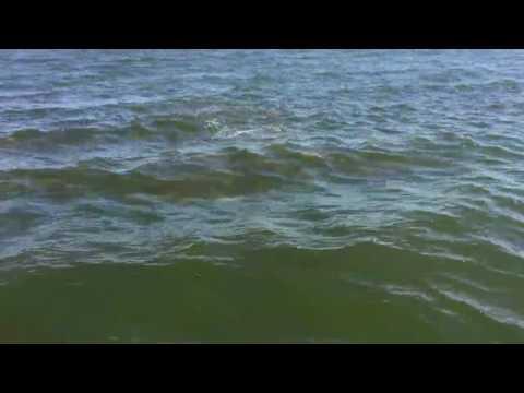 Bull redfish as far as the eye can see along Louisiana coast
