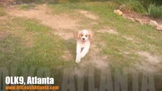 Out Of Site | Cocker Spaniel | Atlanta Dog Training