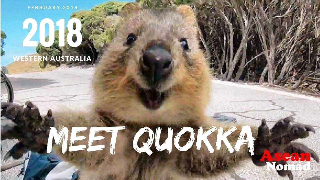 quokka the happiest animal in the world meet quokka