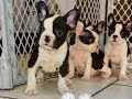 Frenchton, Puppies, Dogs, For Sale, In Memphis, Tennessee, TN, 19Breeders, Chattanooga, Franklin
