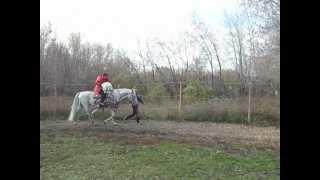 Белая швейцарская овчарка на лошади
