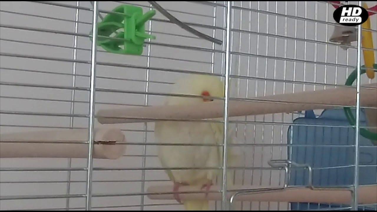 Сколько Попугаев Можно Держать Дома?