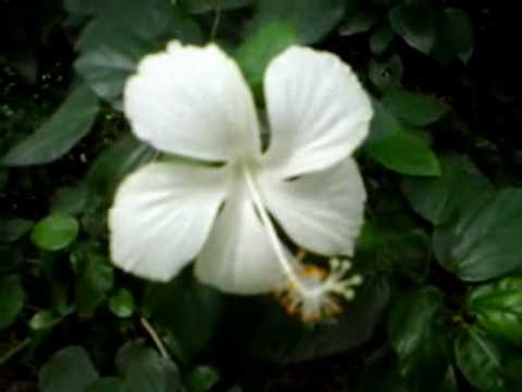 A White Hibiscus Flower Youtube