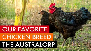 Our favorite chicken breed, the Australorp