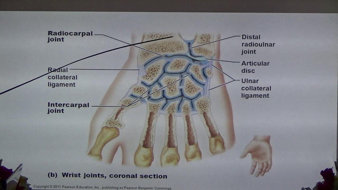 กายวิภาคศาสตร์ เรื่อง elbow,wrist and hand anatomy ตอน ๑๔ ...