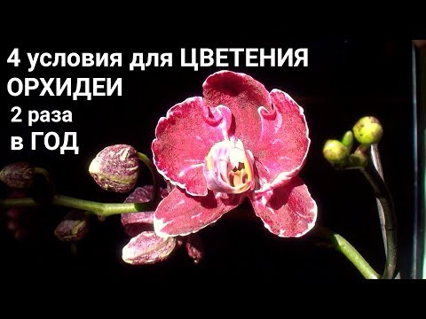 цветонос у ОРХИДЕИ цветет по 2 раза в год 4 ГЛАВНЫХ УСЛОВИЯ роста и цветения ОРХИДЕИ