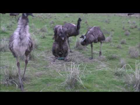 10 emus laying