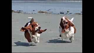 Милые собаки бассет-хаунд