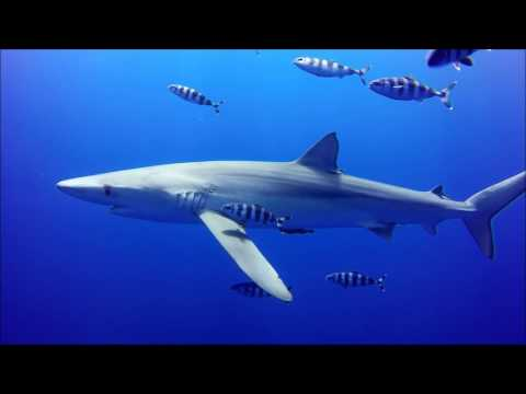 Blue Shark diving - Pico Island, Azores. July 2017