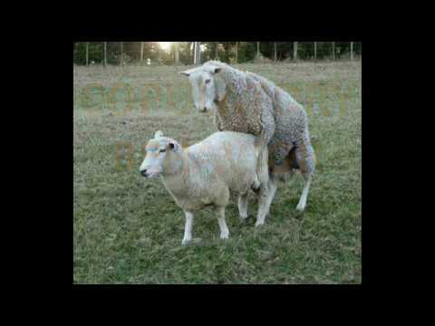 Sheep Mating Behavior Youtube