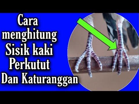 Cara menghitung sisik kaki Perkutut dan katuranggan nya ...