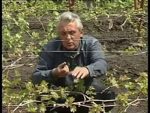 Весенние работы на винограднике: подвязка. нормирование, плодовое звено и т. д.