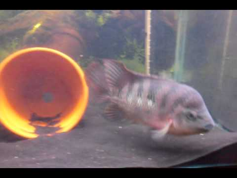 Red Monkey Hybrid Flowerhorn cichlid from Thailand