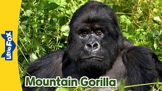 Meet the Animals 2   Mountain Gorilla   Wild Animals   Little Fox   Animated Stories for Kids