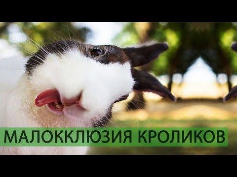 Вопрос: Сколько зубов у кролика?