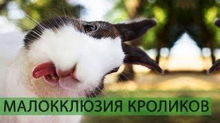 КАК ПОДРЕЗАТЬ ЗУБЫ КРОЛИКУ САМОСТОЯТЕЛЬНО? (малокклюзия у кроликов и неправильный прикус - лечим)