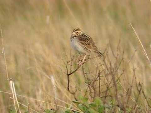 Baird's Sparrow Song Too