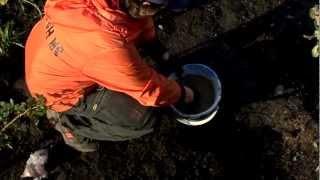 Посадка гиацинтов