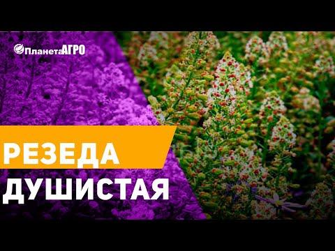 💮 Семена цветов Резеда душистая, ароматный цветок 🌿 Планета Агро