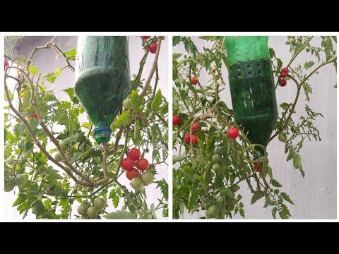 Best Method To Grow Tomato Plant In Plastic Bottle/Upside Down Tomato/Tomato In Plastic Bottle