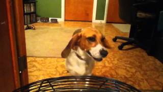 Beagle Ears In The Wind