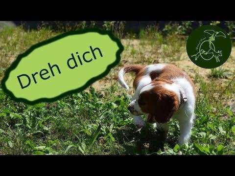 Dreh dich - Calira 9 Wochen alter Welsh Springer Spaniel| Animal Train