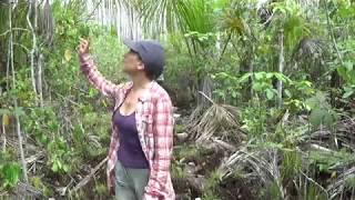 Vanilla pompona grandiflora in Peruvian Amazon Forest
