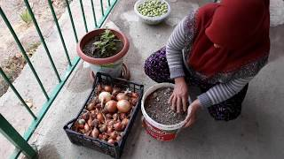 Balkonda saksıda taze soğan nasıl yetiştirilir.