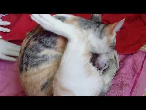 Gata pariendo - Cat giving birth