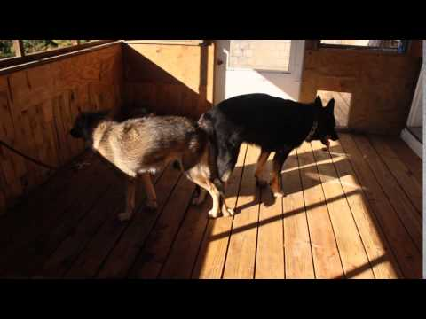 SUPER BREEDING GERMAN SHEPHERD PUPPIES FOR SALE