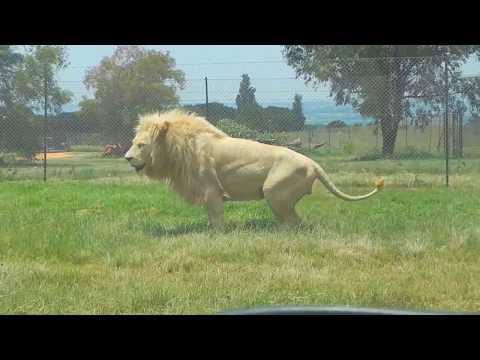 Huge White Lion