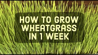 How to Grow Wheatgrass in 1 Week