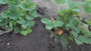 Клубника в открытом грунте и под агроволокном (сравнение).