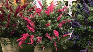 Cottage Farms 3-piece Garden Idols Butterfly Bush Collection with Jill Bauer