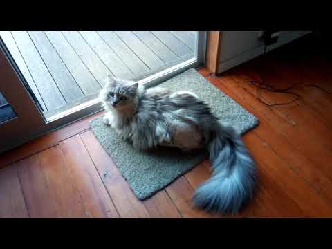 Mainecoon Cats Just Chilling (Sasha and Oscar)