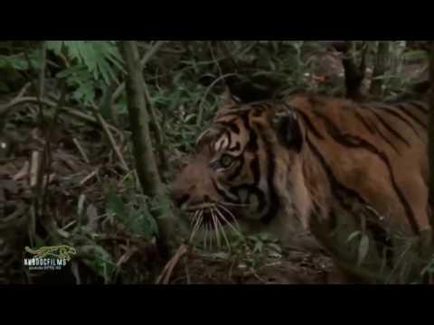 sumatran tiger hunt monkey