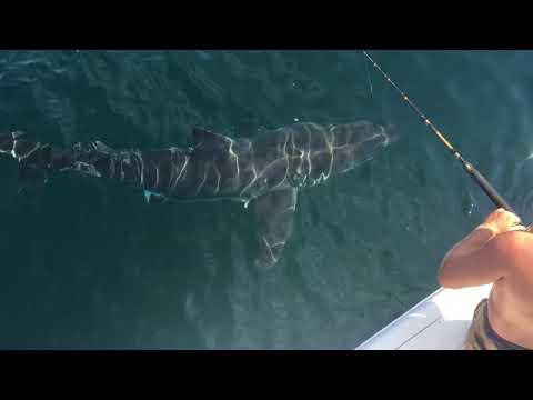 Virginia Beach GREAT WHITE SHARK -September 2017