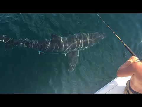 Virginia Beach GREAT WHITE SHARK -September 2017