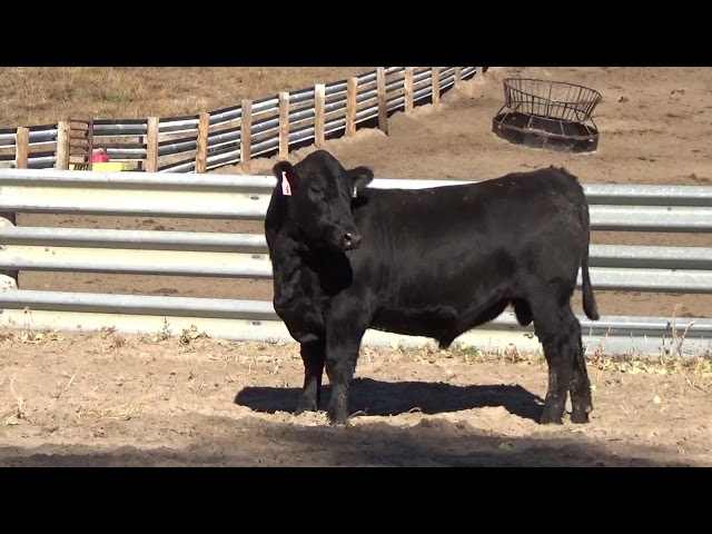Connealy Angus Lot 6