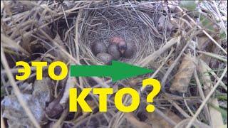 Птенцы и яйца в гнезде  Любители полакомиться птенцами