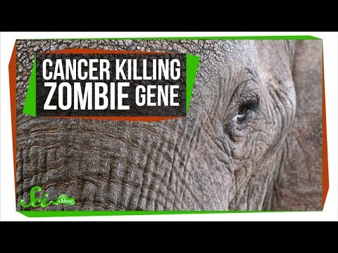 A Zombie Gene Keeps Elephants from Getting Cancer | SciShow News
