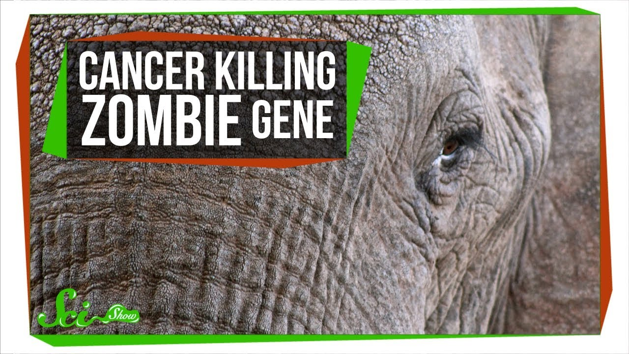A Zombie Gene Keeps Elephants from Getting Cancer   SciShow News