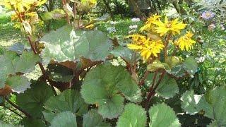 видео Бузульник (Ligularia)