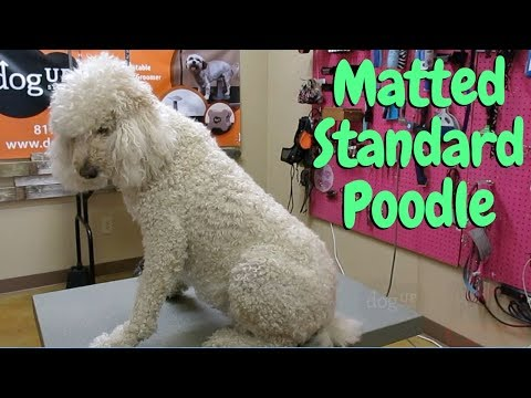 Standard Poodle Is Matted Pro Groomer Tips