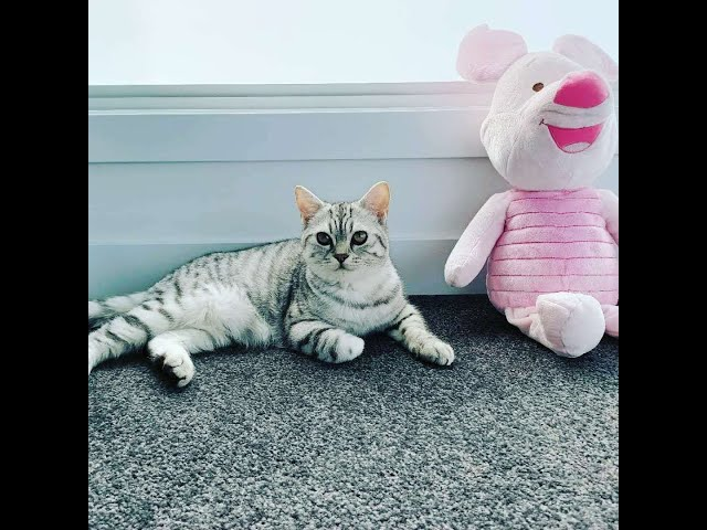 Silver Tabby little kitten Tiger vs Piglet