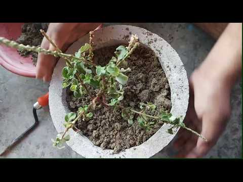 How to grow achyranthes aspera ( latjira), ka ayurvedic plant