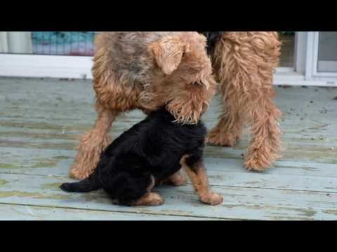 AIREDALE PUPPIES FIRST DAY OUTSIDE