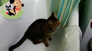Нужно ли купать кошку? Если да, то как часто купают кошек?(Привет, друзья, отвечаю на вопрос своего зрителя: купать ли кошек и если да, то как часто это нужно делать?, 2017-01-09T14:30:15.000Z)